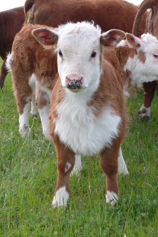 Мини-коровы: самые маленькие (карликовые) представители парнокопытных в мире