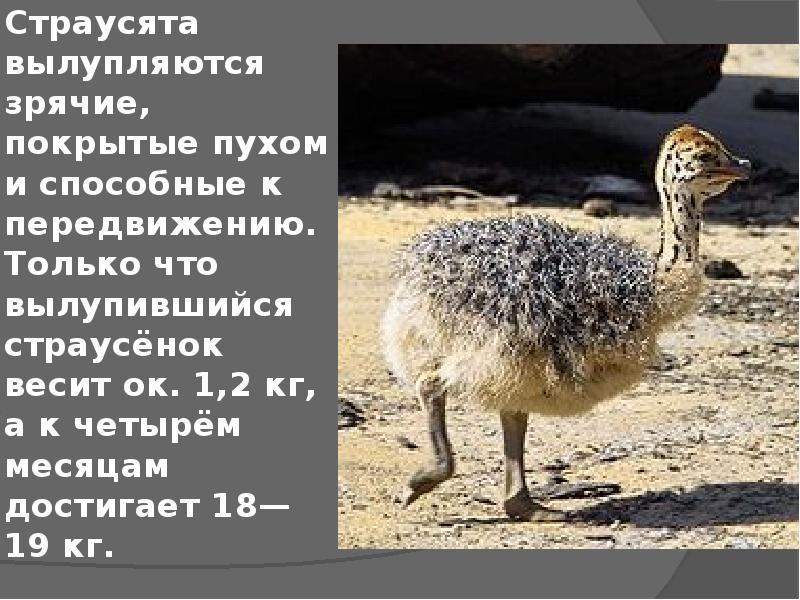 Эму страус австралийский: описание и характеристика (фото и картинки) — среда обитания — особенности