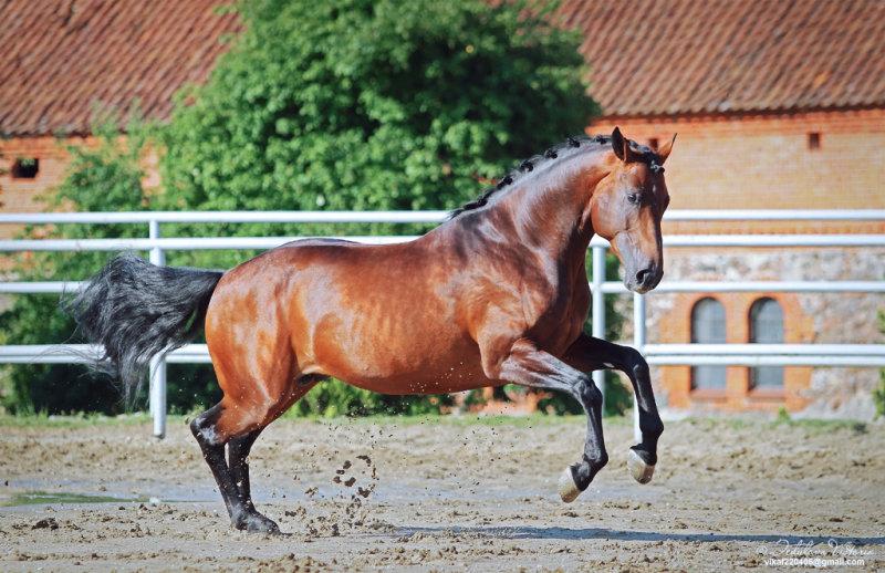 Ганноверская порода лошадей: история, описание, характер и современное состояние породы