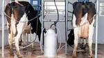 Способы доения коров: ручной, автоматический