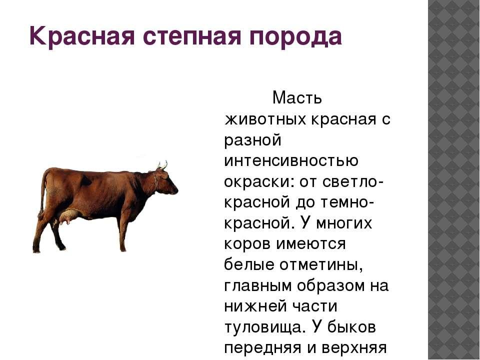 Красная степная корова - характеристика молочного крс 2020