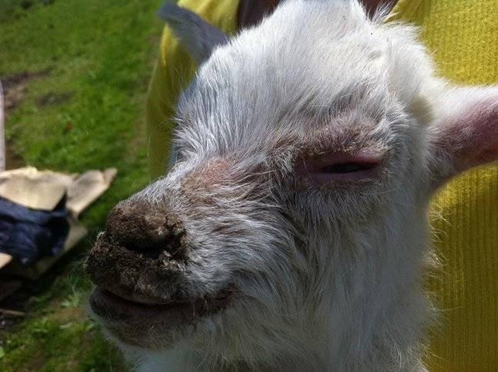 Кетоз у козы - проявления болезни, признаки и лечение 2020