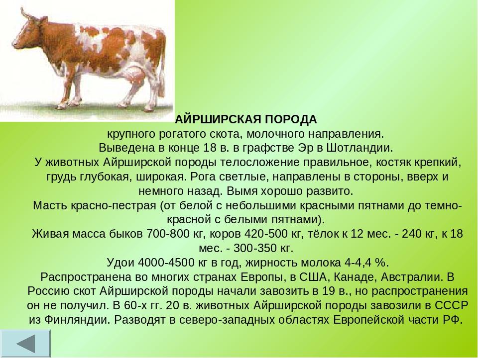 Коровы породы айрширская: происхождение, характеристики, продуктивность, условия содержания