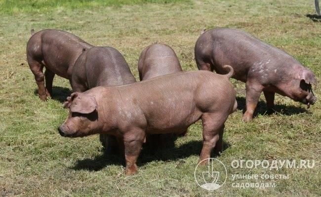 Порода свиней дюрок – вторая по численности и популярности в мире