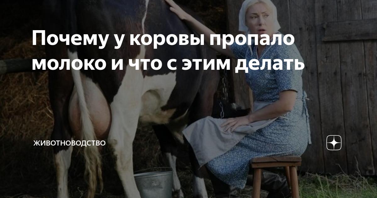 У коровы пропало молоко: причины, почему зажимает молоко