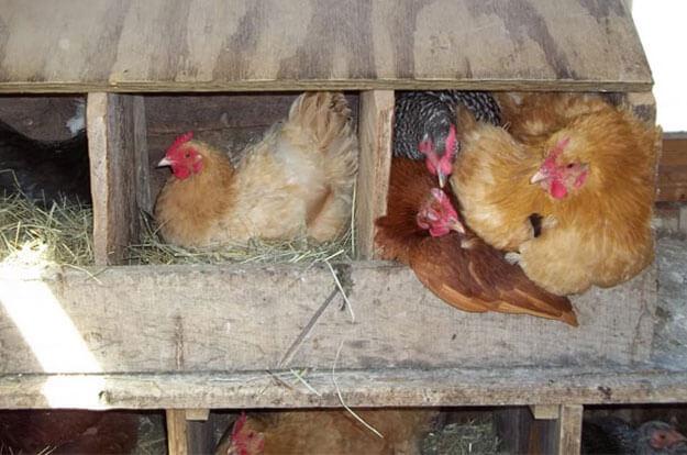 Почему куры клюют яйца: причины, что делать — selok.info