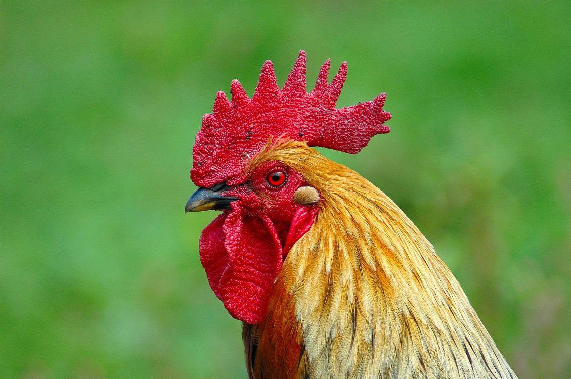 Если у курицы холодный гребень