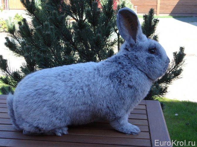 Кролики полтавское серебро: описание породы, уход, разведение