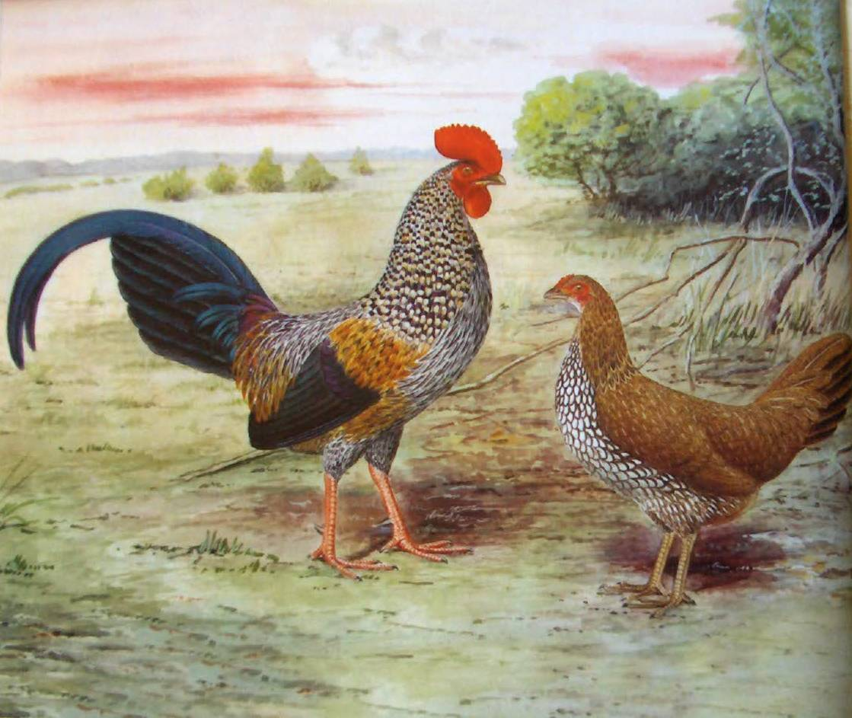 Дикие куры: разновидности кур и их описание