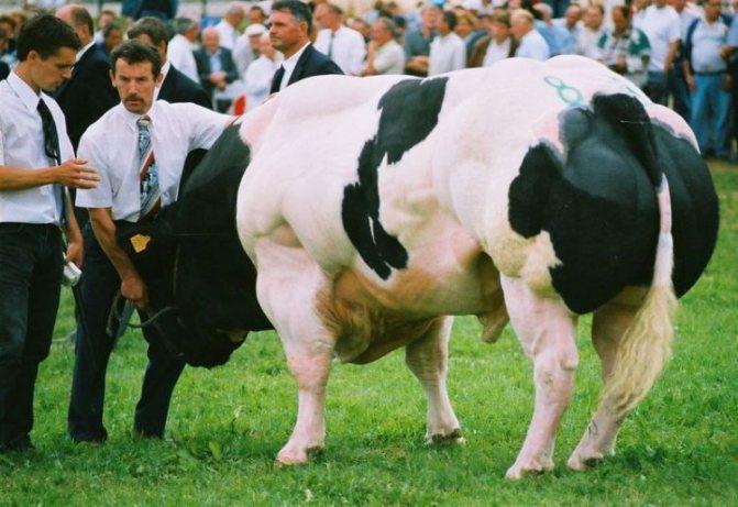 Лучшие породы мясных коров и особенности их выбора