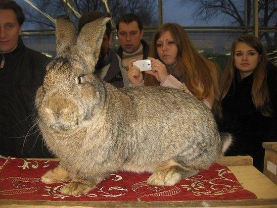 Самый большой кролик в мире: породы, особи-рекордсмены