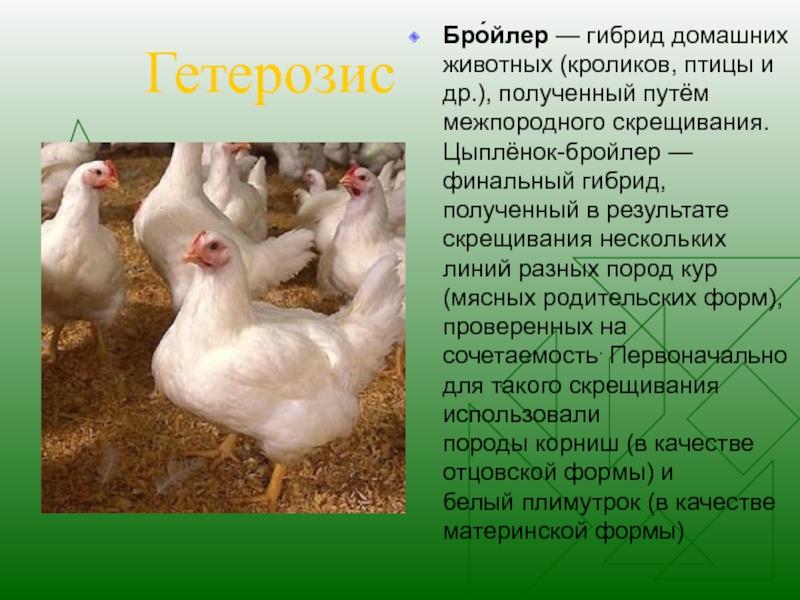 Скрещивание кур в домашних условиях