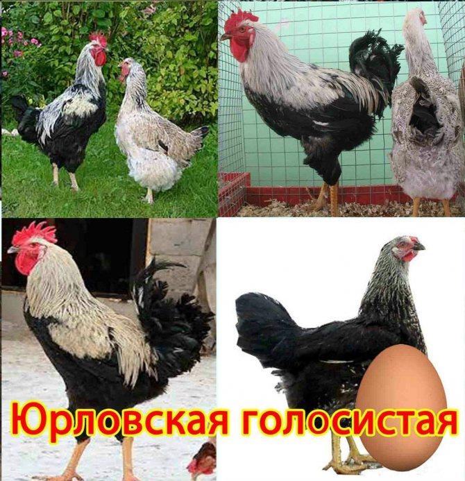 Куры, которым нет равных — юрловские голосистые
