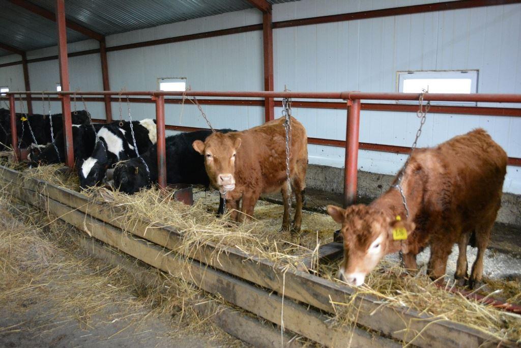 Откорм быков: быстрый способ в домашних условиях