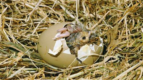 Выведение цыплят в инкубаторе – рекомендации специалиста