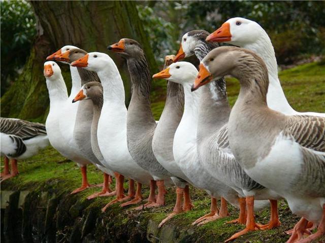 Самые лучшие породы гусей с их описанием и фото