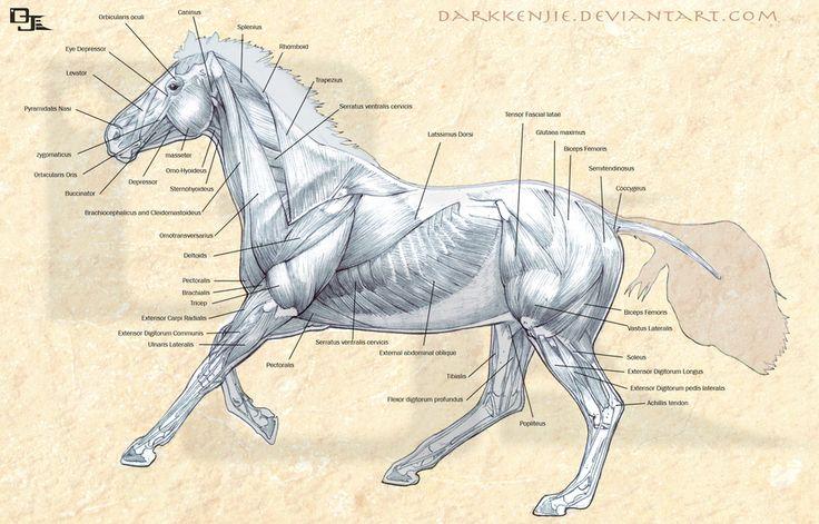 Рассматриваем анатомию лошади: подробное описание и фото