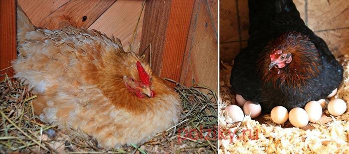Сколько дней курице сидеть и высиживать яйца до появления цыплят