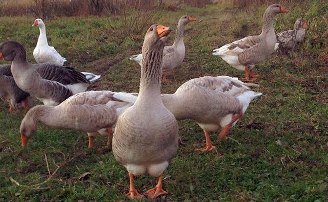 Белый гусь: виды гусей белых мастей, их содержание и разведение | ptichnik.club