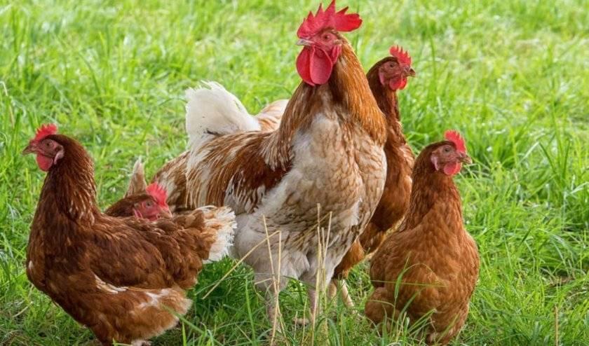 У кур выпадают перья на спине: причины, как лечить, что делать если лысеют – советы ветеринара