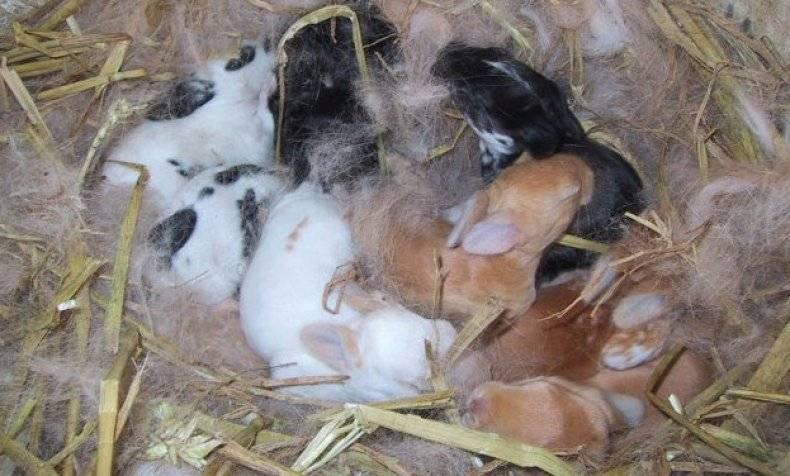Проблемы крольчихи после окрола: поедание и разбрасывание крольчат