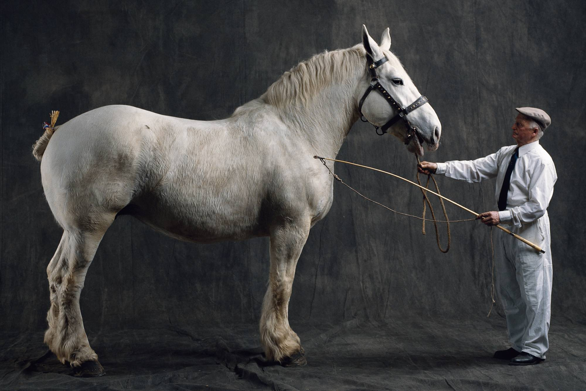 Лошадь-тяжеловоз (владимирская, советская, русская, бельгийская): характеристики рабочих пород