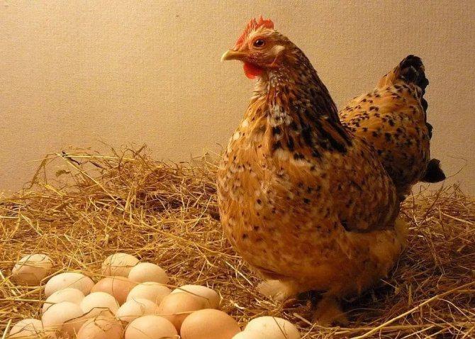 Сколько живут курицы разных пород в домашних условиях и на птицефабриках