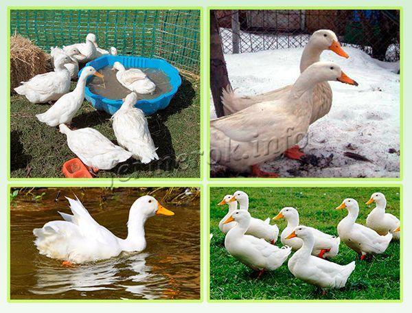 Башкирская утка: описание породы, достоинства и недостатки, разведение в домашних условиях