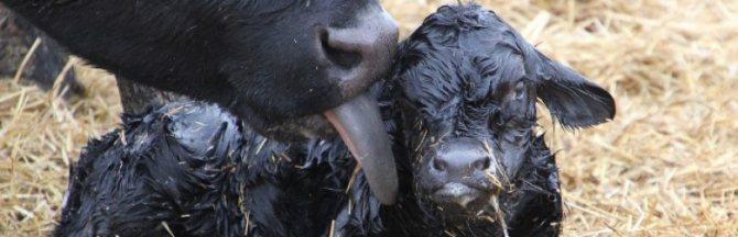 Сколько длится беременность коровы: вынашивание в месяцах