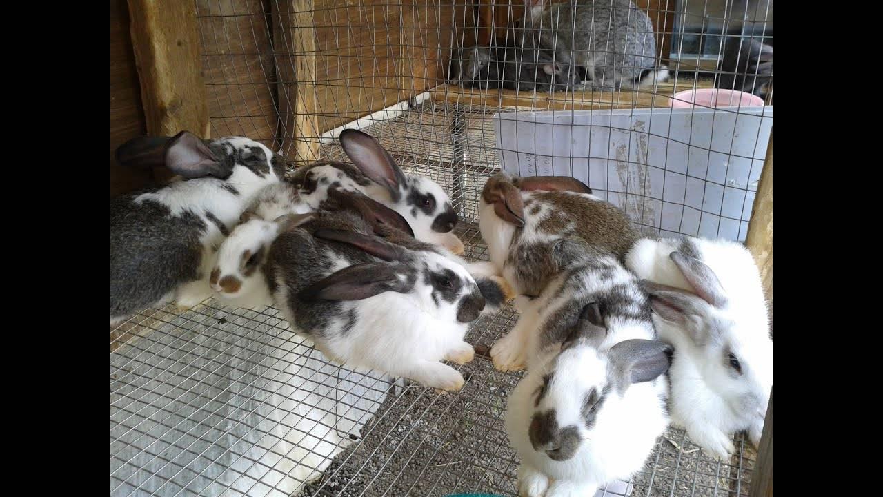 Кролик бабочка (32 фото): описание породы пестрых великанов, карликовых кроликов и других разновидностей. разведение в домашних условиях