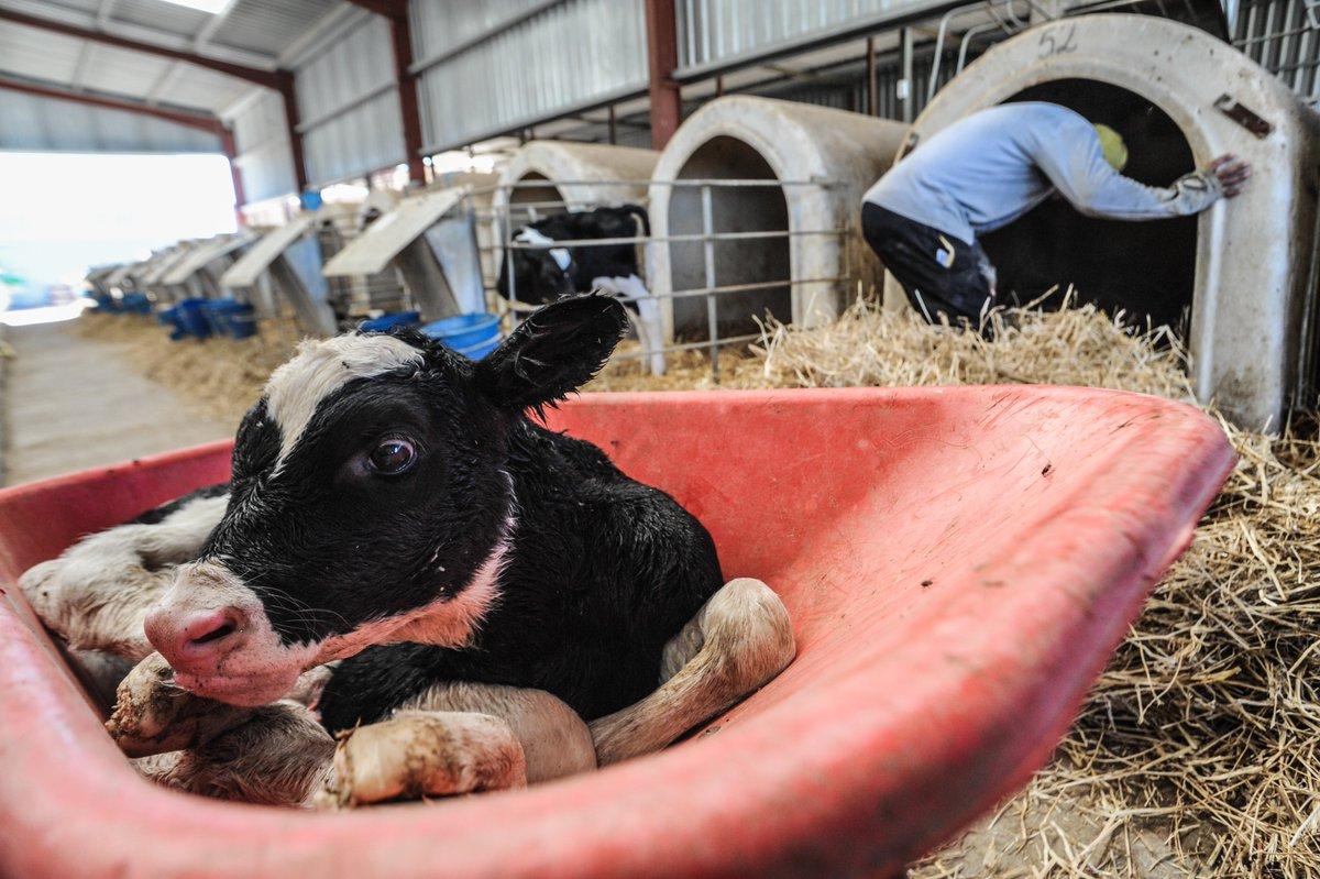 Понос у коровы лечение в домашних условиях, вирусная диарея крс