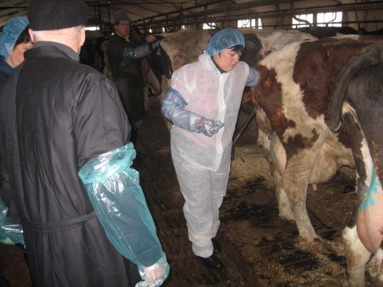 Статьи по разведению крс на korovainfo.ru | методы искусственного осеменения коров
