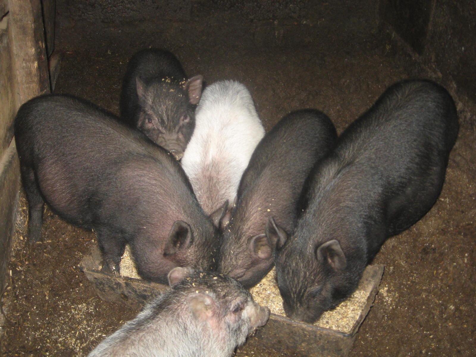 Вьетнамские вислобрюхие свиньи - отзывы владельцев