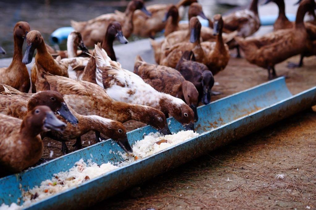 Сколько съедает утка корма до убоя, расход кормов на одну утку