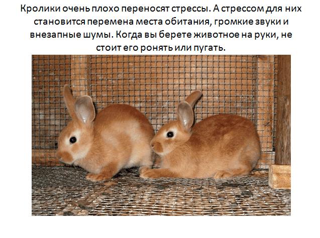Сколько лет живут декоративные кролики, вислоухие и карликовые и как увеличить этот срок?