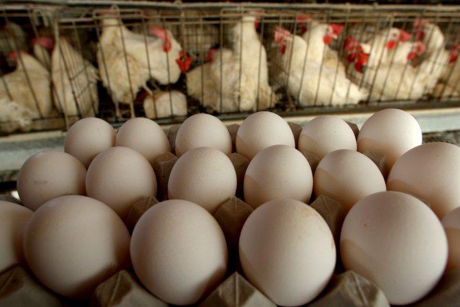 Несут ли бройлеры яйца в домашних условиях - ogorod.guru