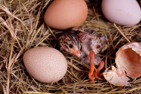 Яйца цесарок: влияние на человека, отличие от куриных