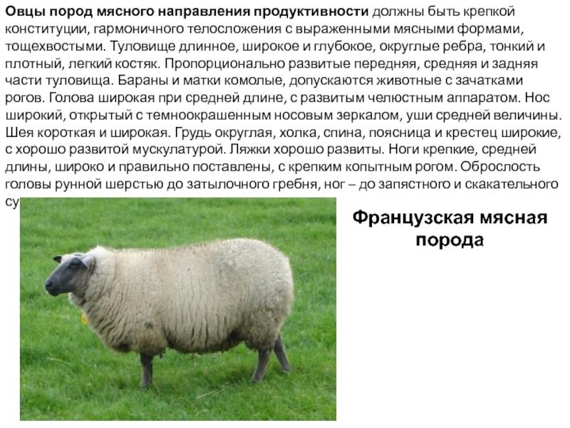 Породы овец: виды, описание, рекомендации по выбору