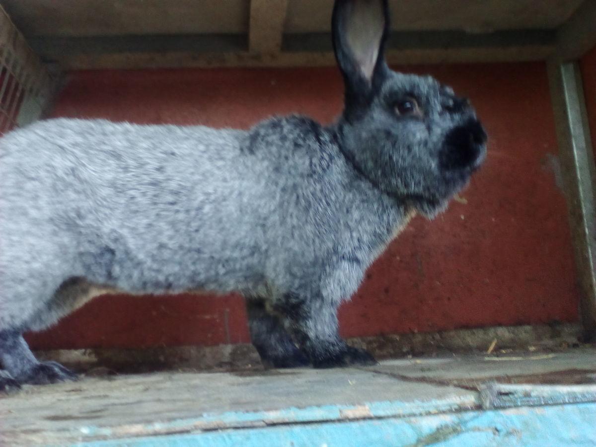 Какие породы кроликов бывают