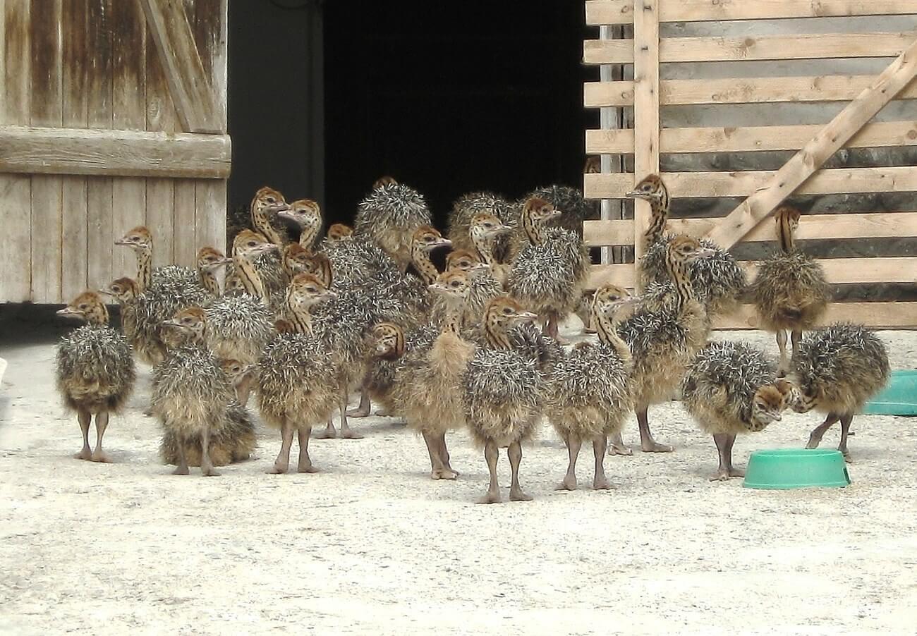 Размножение страусов: как спариваются, разведение и выращивание