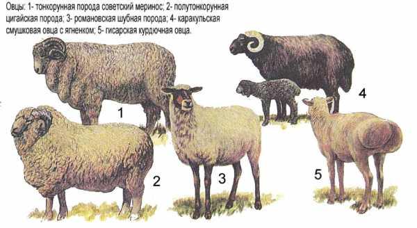 Романовская порода овец: разведение и характеристика — cельхозпортал