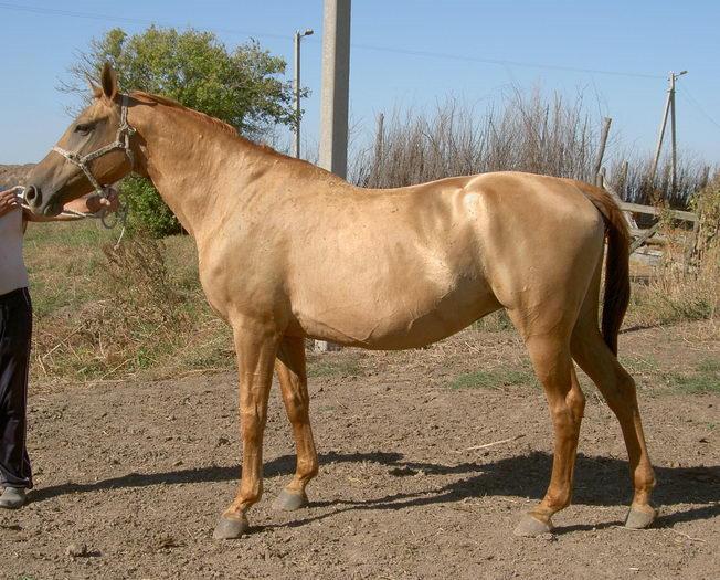 Каурая лошадь (26 фото): это какой цвет? особенности масти и содержания