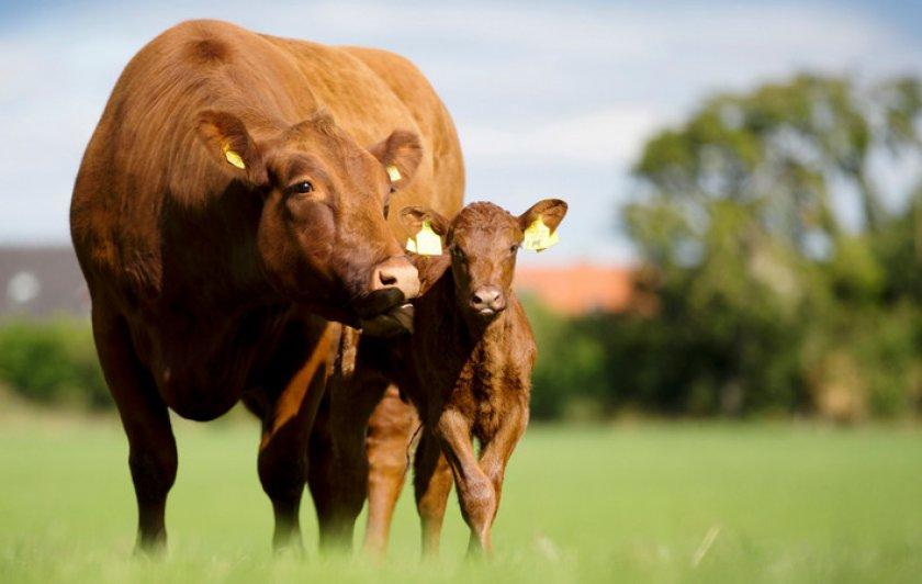 Описание абердин-ангусской порода коров, история возникновения, характеристика