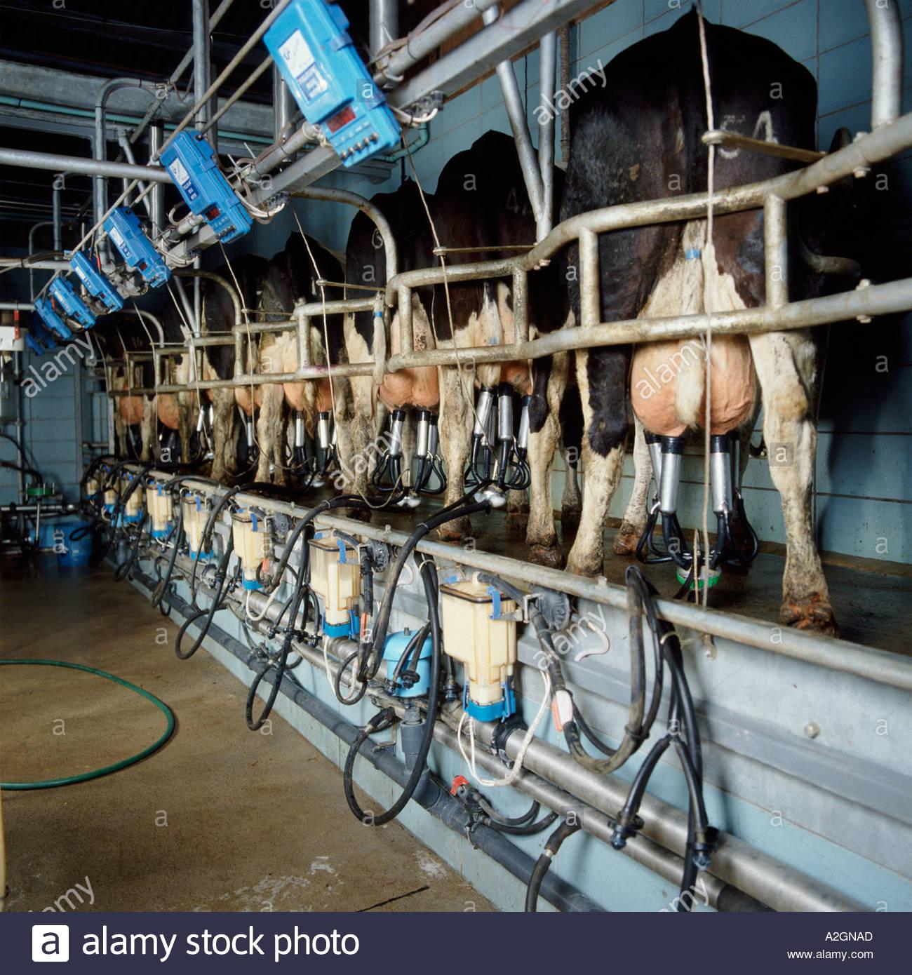 Технология доения коров