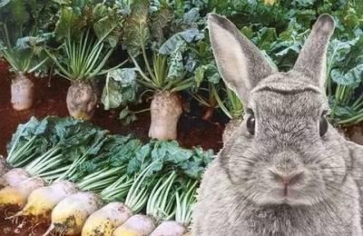 Хлеб в рационе кроликов: нормы, правила кормления, меры предосторожности