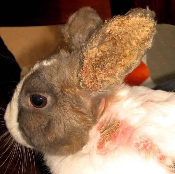 Ушной клещ у кроликов лечение в домашних условиях