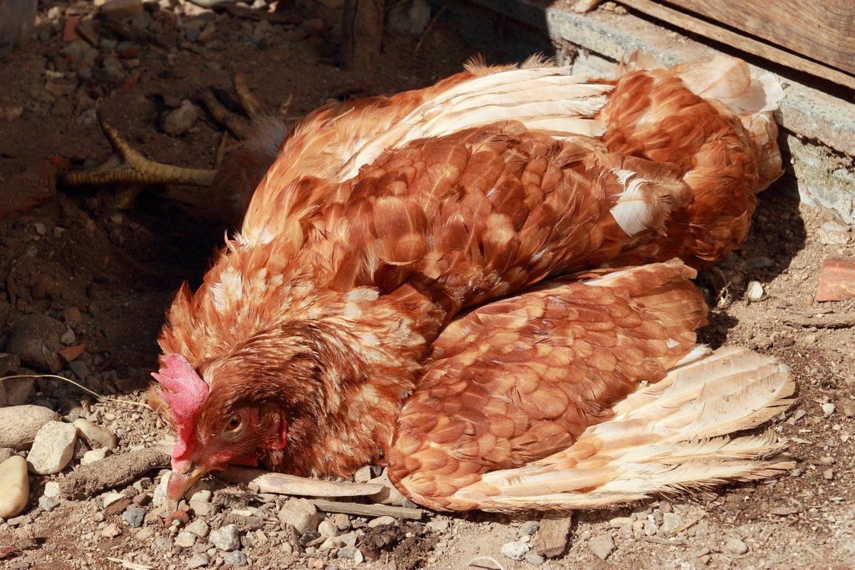Болезни кур и их лечение: симптомы заболеваний и профилактика