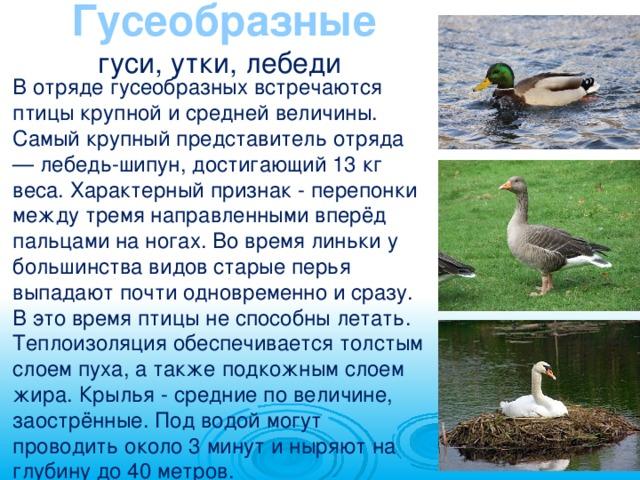 Все о домашних утках: описание, поведение, характеристики, особенности