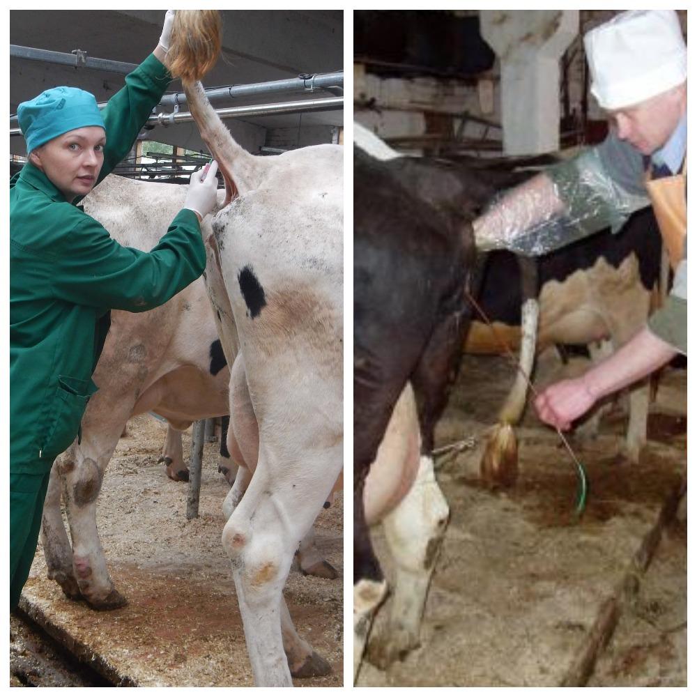 У коровы кровяные выделения — что это значит и как лечить