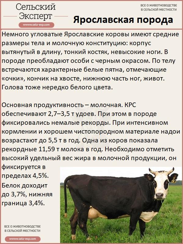 Корова ярославской породы: описание, уход и кормление - всёпродачу